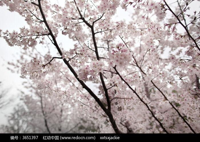 春天里茂密美丽的粉红色樱花树