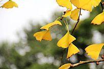 黄色的银杏树叶子