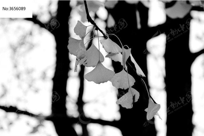 唯美的银杏树图片,高清大图_树木枝叶素材_编号3656089