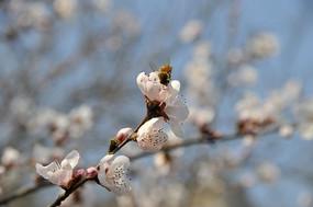 杏花上的蜜蜂