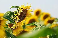 风中的向日葵