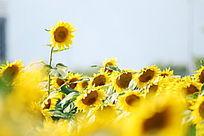 风中展现的向日葵