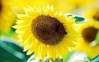 蝴蝶与向日葵