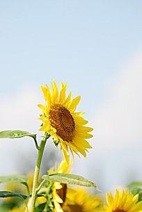 坚强的向日葵