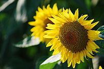 金黄色向日葵