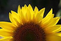 近距离向日葵