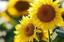 两朵向日葵