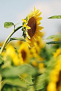 向日葵侧面