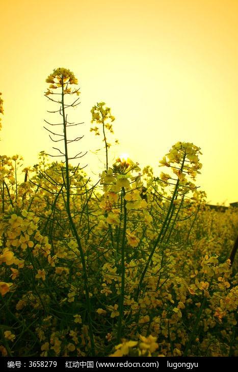 原创摄影图 动物植物 花卉花草 阳光菜花  请您分享: 红动网提供花卉