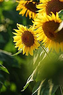 阳光向日葵