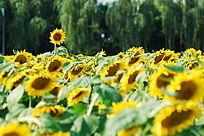 一只出色的向日葵