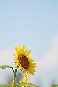 一只向日葵