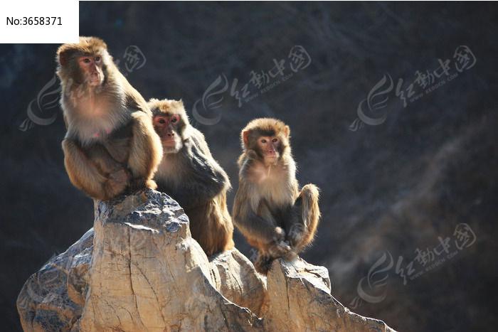三只蹲在假山上晒太阳的猴子图片