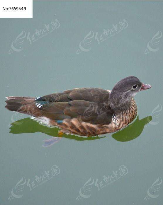 水鸭子图片