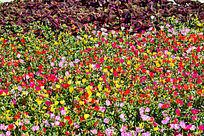 五颜六色的花菱草花朵