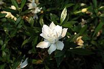 阳光下的枙子花