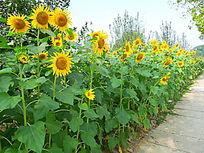 阳光下的成片向日葵花朵