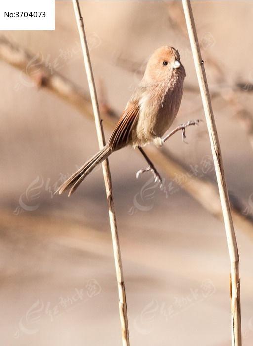 原创摄影图 动物植物 空中动物 在芦苇杆上跳跃的棕头鸦雀