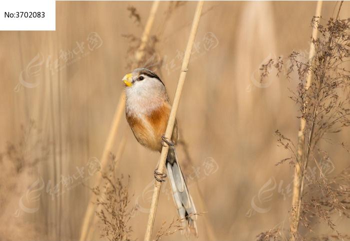 芦苇杆上的小鸟