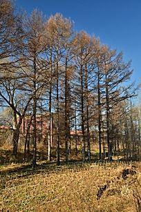 枯萎的树林