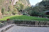 茶 山间茶树