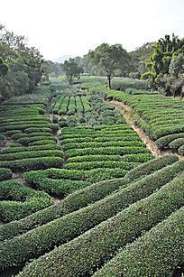 茶叶 茶园