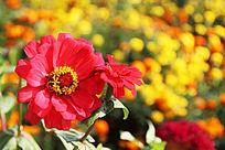 红色太阳花