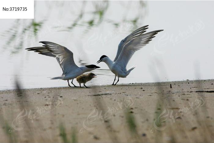 水边两只大鸥与他们的雏图片,高清大图_空中动物素材