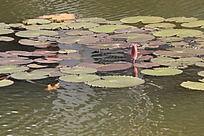 微波粼粼的池水、荷叶和未开苞的荷花
