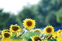 几朵向日葵