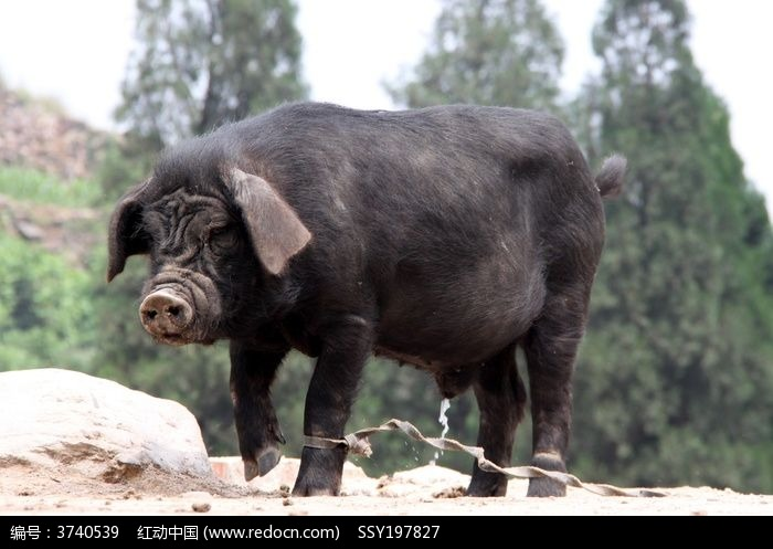 原创摄影图 动物植物 家禽家畜 散养的家猪
