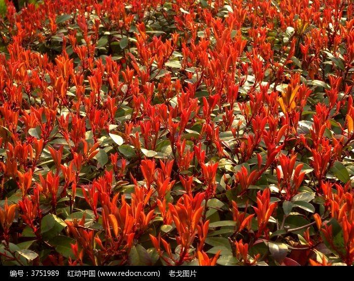 一大片冬青红叶