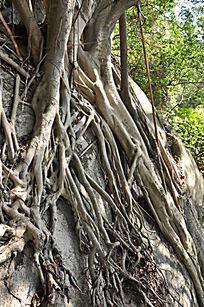附在石头上的老树根
