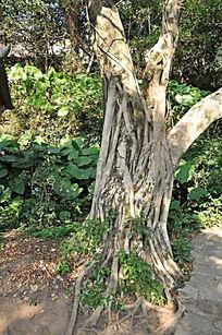 根系发达的老树
