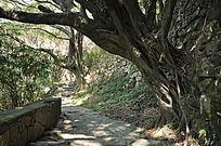 路旁的根系发达的老树
