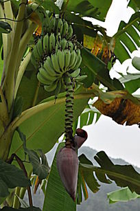 未成熟的香蕉
