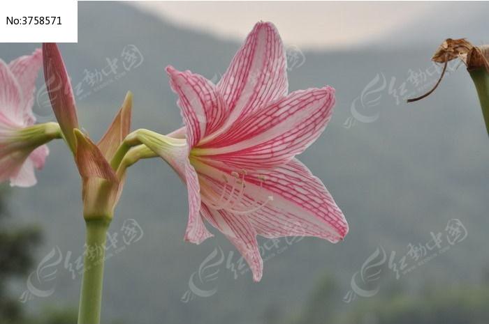 一朵百合花特写图片,高清大图_动物植物素材