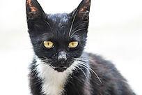 向前目视的黄色眼睛黑猫