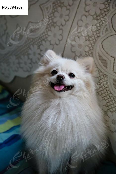 吐舌头的宠物狗