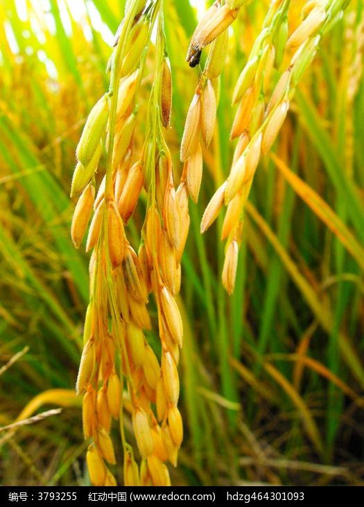 沉甸甸金黄色的稻谷稻穗图片