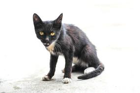 喵喵叫的黄色眼睛黑猫