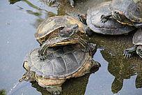 抬着头的乌龟