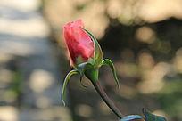 一支玫瑰花