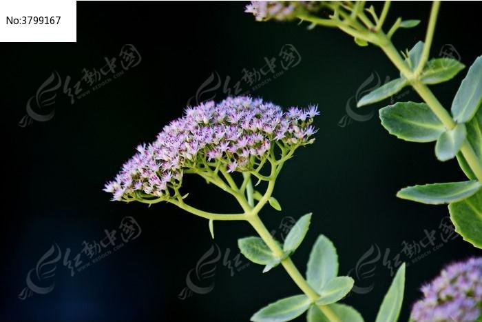 黑色背景图紫色满天星花朵高清图片下载 编号3799167 红动网