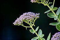 黑色背景图紫色满天星花朵