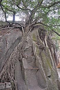 石缝里的老树根