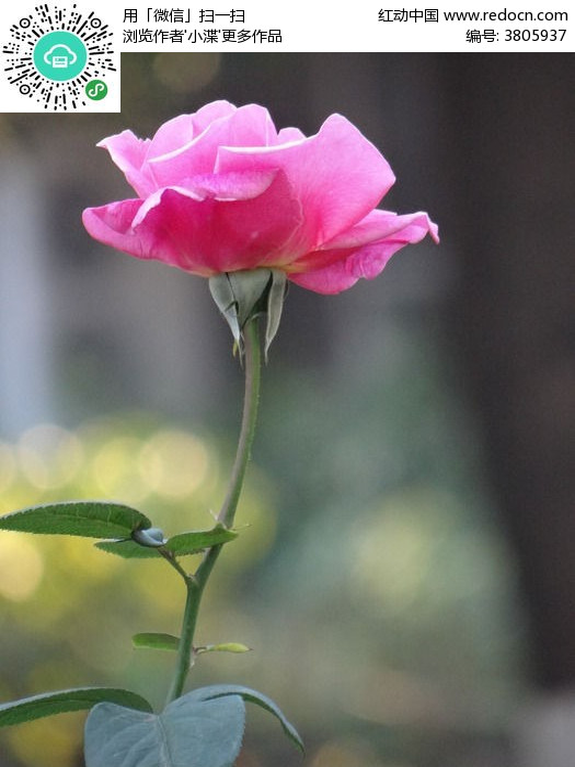 可爱的一朵玫瑰花简谱sollaxi