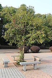 桂花树 大理石凳