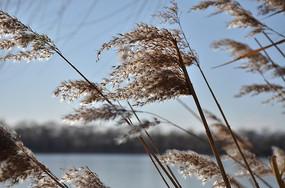 北风吹的凌乱的芦苇