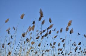 冬日蓝天下的芦苇